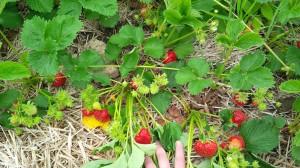 Berries-a-plenty